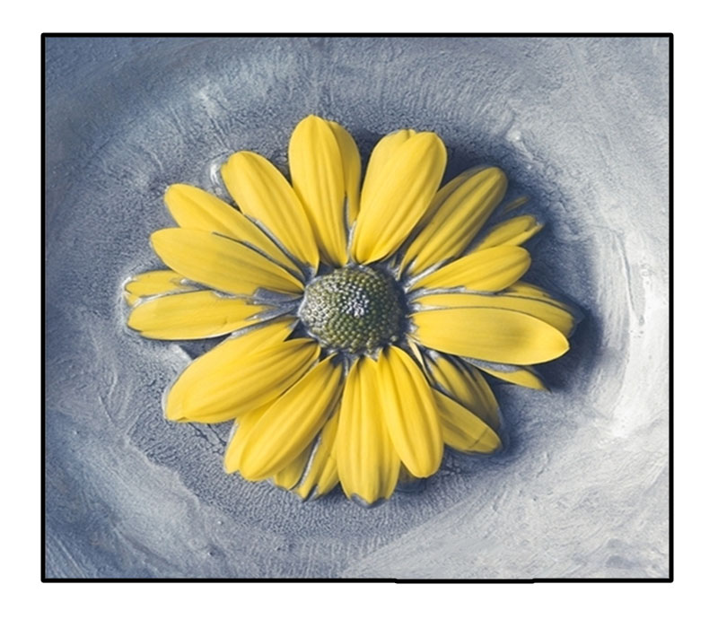 Mẫu tranh in canvas hoa cúc vàng giả sơn dầu , giàu tính nghệ thuật